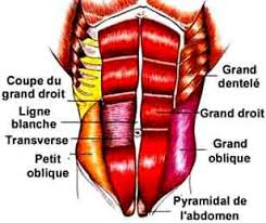 muscle-abdominaux-anatomie