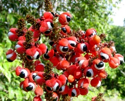 guarana-histoire